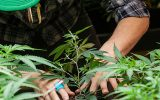 getting cannabis out of your system